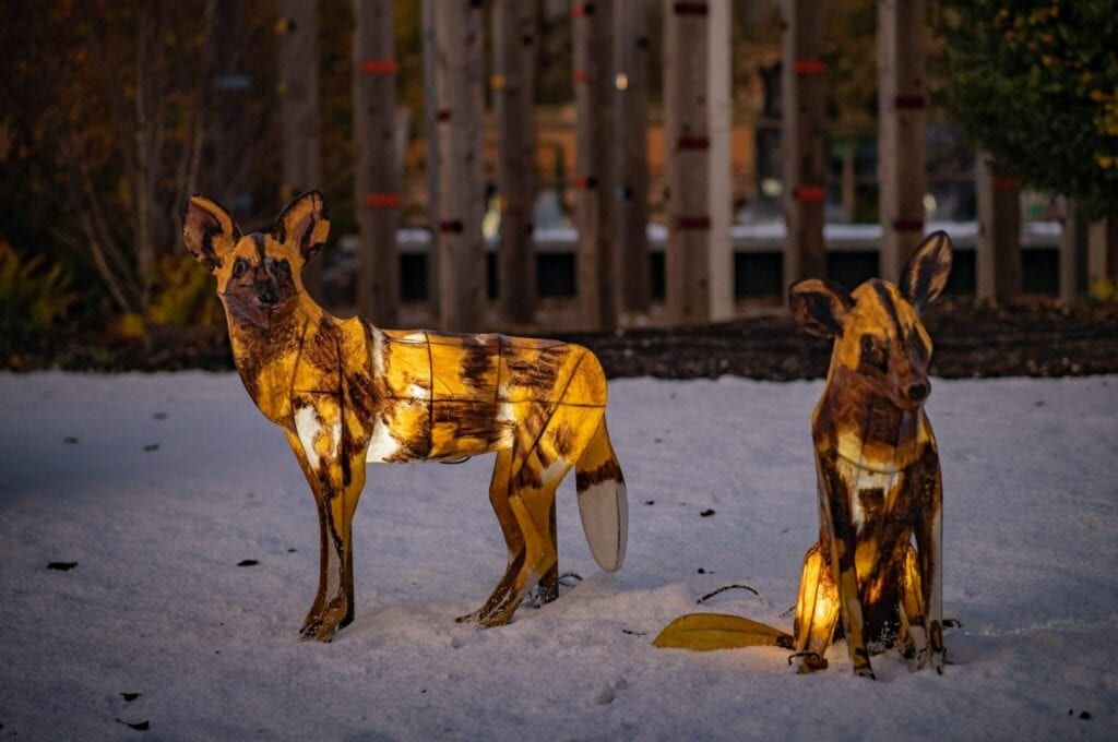 The Lanterns At Chester Zoo 2020 Hyenas Scaled.jpg