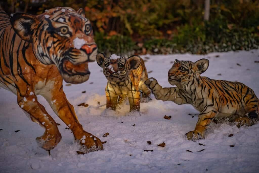 The Lanterns At Chester Zoo 2020 Tigers Scaled.jpg