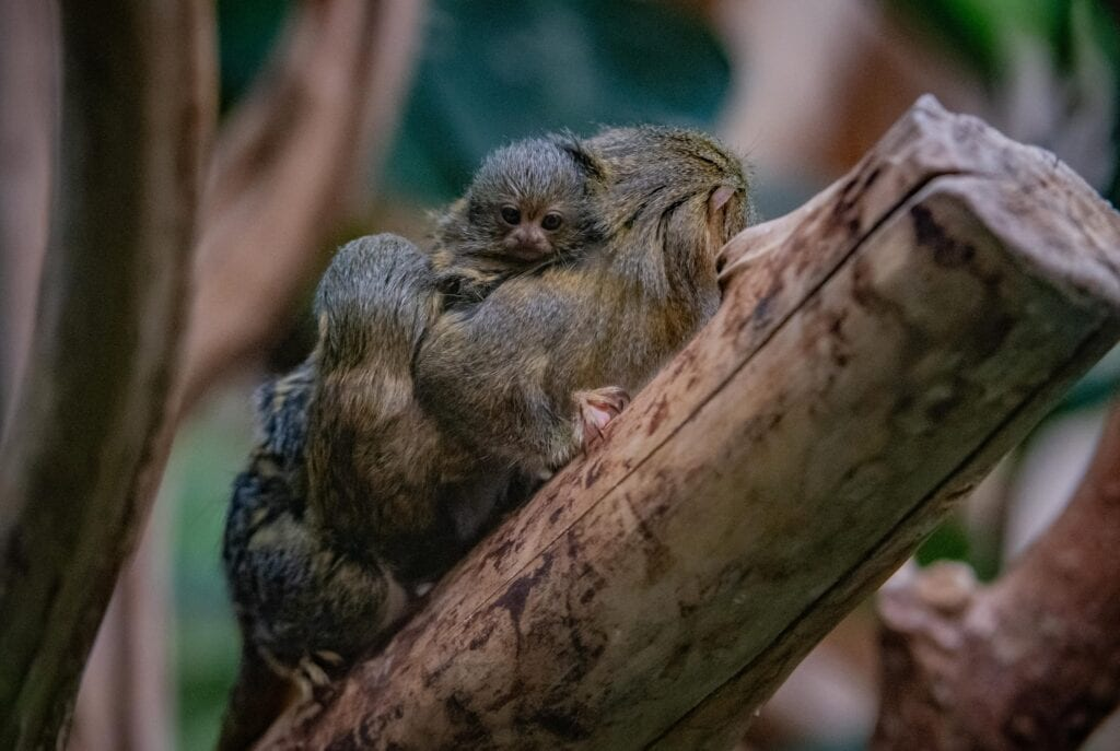 Chester Zoo One Of The Worlds Smallest Monkeys Born At Chester Zoo
