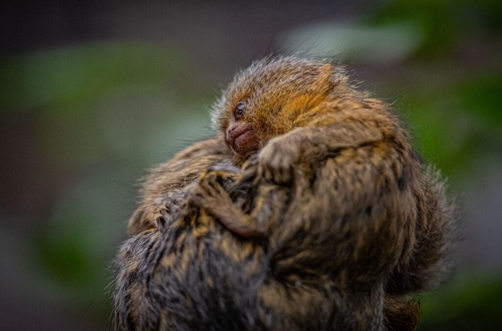 Chester Zoo One Of The Worlds Smallest Monkeys Born At Chester Zoo 9 1 Scaled