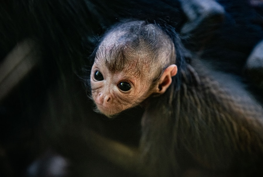 chester zoo rare spider monkey born at chester zoo