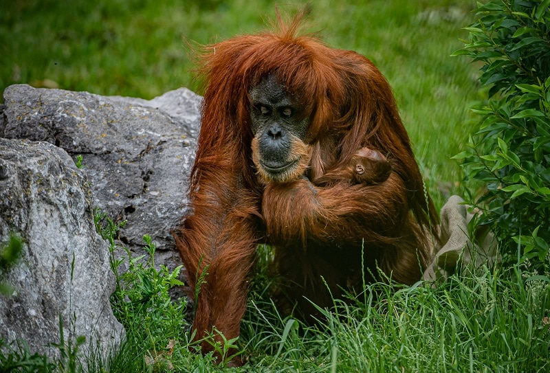 more uk counties, cities, towns and villages join chester zoo's 'sustainable palm oil communities to save orangutan homes