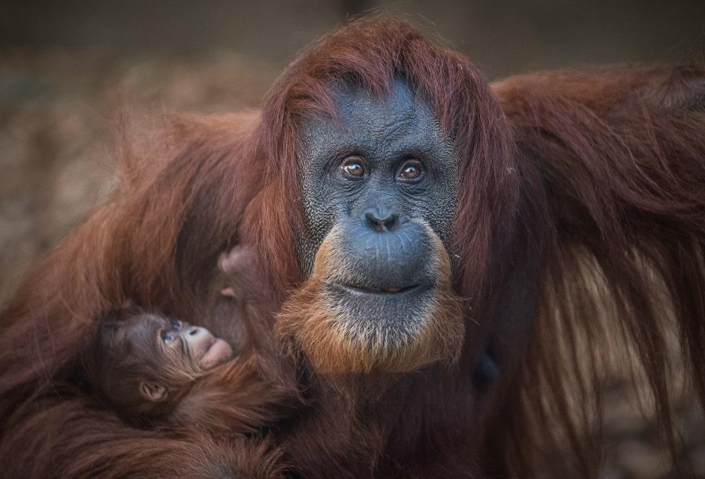 chester zoo critically endangered sumatran orangutan, emma, with baby at chester zoo
