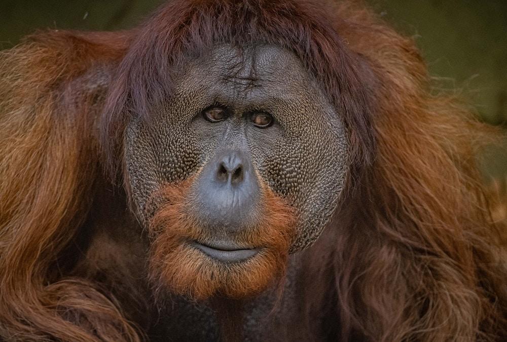 chester zoo critically endangered sumatran orangutans at chester zoo (8)